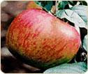 Organic Apple Juice No Sugar Added- Tullens Fruit Farm in West Sussex, UK